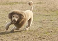 夏天給狗狗全剃光,不僅醜還容易得皮膚病,但總有主人帶狗剃毛