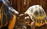 烏龜圖集:四爪陸龜