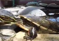 網友總結寵物龜的50種死法,看看你有犯過哪些錯誤?