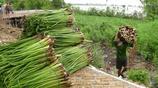 中國南方的一種菜,當地人餵豬,城裡人卻成箱買,營養比人蔘還高