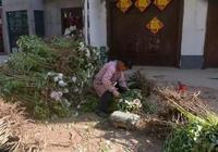 農村人找到致富鑰匙,農作物賣給城裡人當盆景,種植戶增收有希望