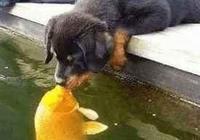 這條魚真是厲害了,一嘴把狗狗給吞了!