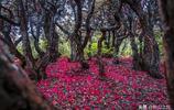 貴州烏蒙山之上,有3萬畝千年杜鵑林:被譽為夜郎的紅地毯