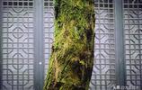 110年老屋裡長出90歲四季青,穿過2米天井,看看長成啥樣