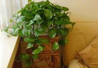 綠蘿、富貴竹別養在陽臺了,養在這個地方,葉子綠油,蹭蹭長不停