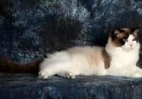 布偶貓:像女神一樣高不可攀