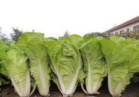 大白菜露地栽培農事月曆