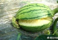 種植西瓜時,出現裂瓜是什麼原因?如何防治?