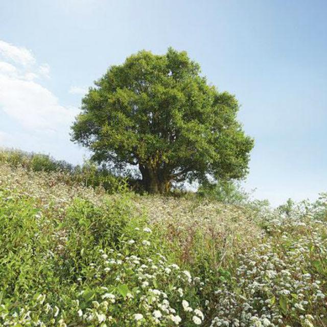 普洱古茶樹之最