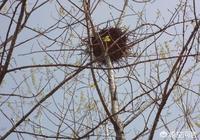 為什麼在農村看到樹上的鳥窩開口都朝上,不怕雨淋嗎?