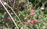 鄉下的野草莓,小時候的零食