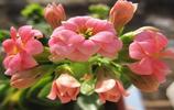 花卉圖集:長壽花