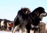 西藏獒犬成為流浪狗後的危害和防控
