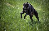 狗中的博爾特,速度最快的犬種——格力犬