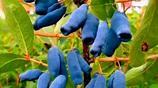 這三種野果在大興安嶺很有名,你能叫出它們的名字嗎?