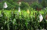 秋天到高粱快成熟收割,為了不讓鳥兒啄食,農民給高粱套上方便袋