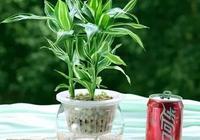 富貴竹冬天怎麼養?