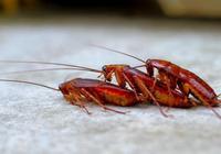 夏天家中蟑螂超級多?只需簡單1招,當天把蟑螂斬草除根!