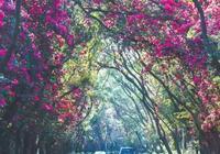 深圳最美馬路被簕杜鵑包圍 行人驚歎美上了天