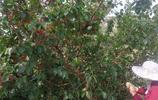 每年的這幾天,城裡人都開車往這個小山村跑,為了採摘一種小果子