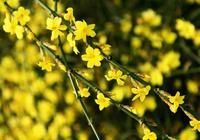 盆栽迎春花的栽培和養護方法,如何培育迎春花