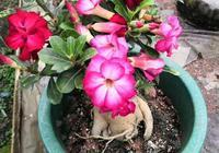 """給花卉施肥,要注意3個""""技巧"""",做對了,才能長得旺、開花爆盆"""