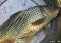 釣魚餌料:鯉魚知多少?釣鯉魚方法