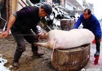 農村殺豬後,為什麼要往豬體內打入空氣?