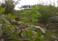 花椒芽!花腳丫,農村花椒樹上亮嚓嚓