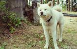 日本名犬秋田犬