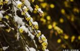 春雪相伴迎春花