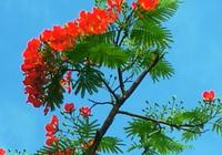 三亞鳳凰木開花