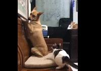 追貓被逼去面壁,44斤巨汪被罰站到腳痠飛機耳,看到主子狂撒嬌