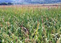 為什麼廣西桂林灌陽水稻這麼好?