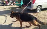 真實拍攝:唐山最大狗狗市場牧羊犬1000元,小鹿犬0元抱走送狗糧