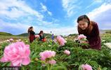 四川遂寧千畝牡丹綻放 吸引眾多遊客