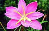 韭蘭,風雨之花