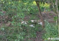 為什麼農民自己養的雞鴨鵝比市場的好吃?農村自己養雞的技巧都有哪些?