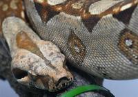哥斯拉和蟒蛇誰歷害?