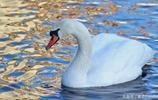 動物圖集:自由的天鵝 水面上的唯美天鵝