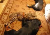 羅威納犬和美洲夜貓的生死較量!