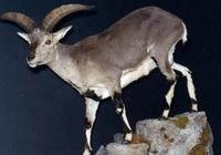 矮岩羊:翻越絕壁易,逃離獵殺難;獨存金沙江畔,不足500只