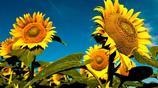 世界名花:向日葵為什麼這麼有名?就好像蒙娜麗莎為什麼會有名一樣?
