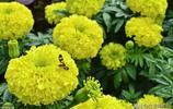 花團錦簇的萬壽菊