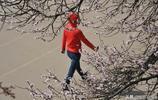 哈工程大學校園裡的杏花長廊,萬花齊放,成為哈市的一個網紅景點