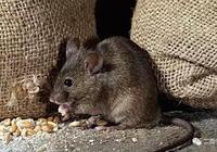 百歲老人被害死,下葬當天萬鼠朝拜,鼠王率領眾鼠為其報仇