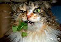 喵星人為何愛吃貓薄荷?