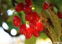 山茱萸的功效與作用及食用方法