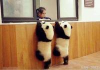 看熊貓寶寶是如何撩小姐姐的?小姐姐害羞得臉紅了,你還不肯放過