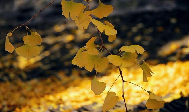 """千年銀杏樹中間又長出一棵黃連樹,當地人稱之為""""白果抱黃連"""""""